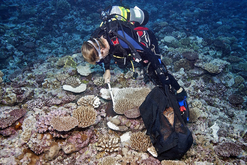 SCAR marine biologist removing COTS from reef