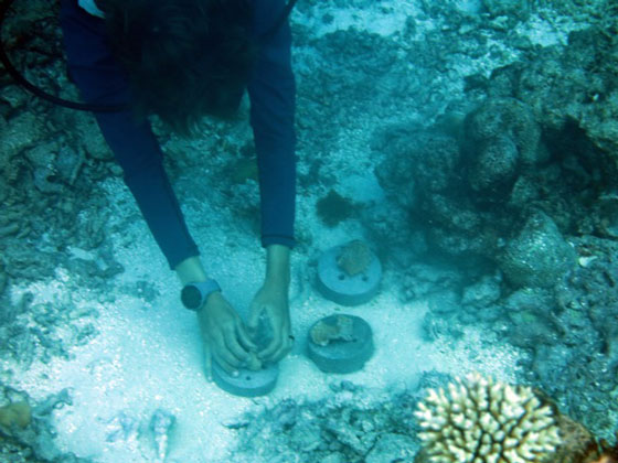 Marine biologist Ms Fattori sinks some concrete bases with encrusting fragments.