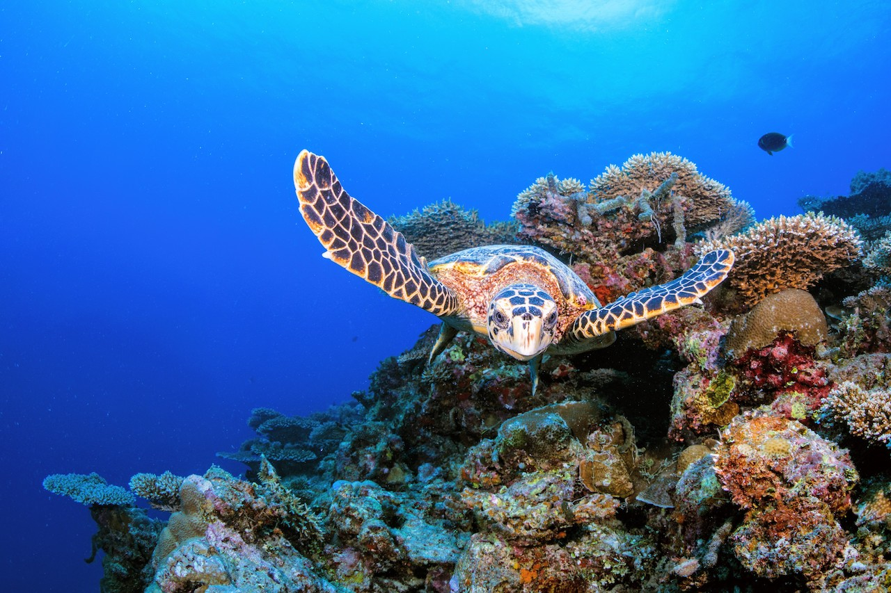Hawksbill turtle welcoming divers, Six Senses Laamu