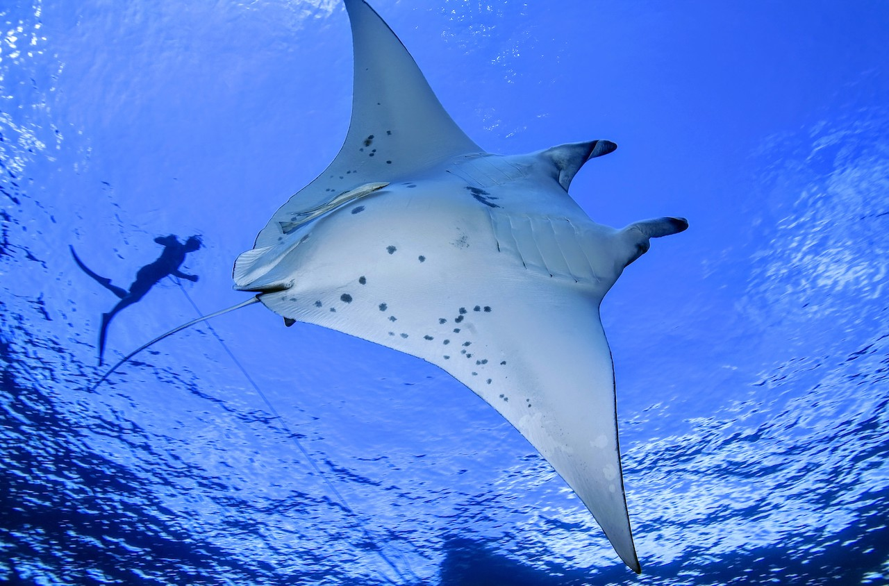 Manta Ray season, Olhuveli Beach and Spa Maldives