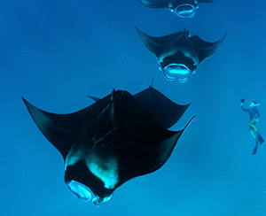 Manta Trust expeditions aboard Four Seasons Explorer